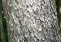 Black Cherry (Prunus serotina) bark detail.jpg