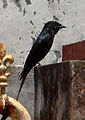 Black Drongo at Madhurawada 09.JPG