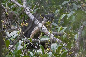 Black giant squirrel - An individual from Mahananda Wildlife Sanctuary, West Bengal, India.