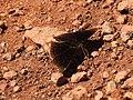 Black Prince Rohana parisatis male by Dr. Raju Kasambe DSCN4904 (6).jpg