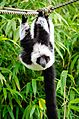 Black and white Ruffed Lemur (25028081646).jpg