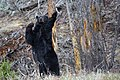 Black bear near Phantom Lake (33074dca-2308-4d2f-b209-3c91bf3a03cb).jpg