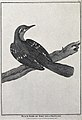 Black bird from Port des Francais. Engraving with etching by Wellcome V0022120EL.jpg