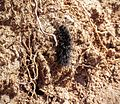 Black caterpillar - Flickr - brewbooks.jpg
