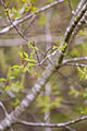 Black cherry (25909063966).jpg