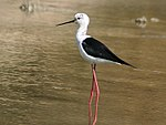 The Black-winged Stilt is common in wetlands