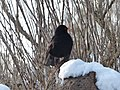 Blackbird in the Snow.jpg