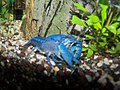 Blauer Floridakrebs B0013.jpg