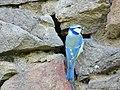 Blaumeise ( Cyanistes Caeruleus ).jpg