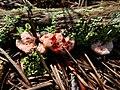 Bleeding tooth fungus (15258964671).jpg