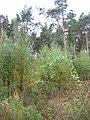 Blinkbonny Woods. - geograph.org.uk - 59861.jpg