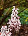 Bloeiwijze van Pieris japonica 'Bonfire'. Locatie, Tuinreservaat Jonkervallei 02.jpg