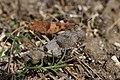 Blue-winged Grasshopper - Oedipoda caerulescens - panoramio.jpg