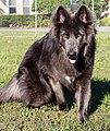 Blue Bay Shepherd.jpg
