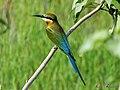 Blue Tailed Bee Eater - വലിയവേലിത്തത്ത1 (13033404813).jpg
