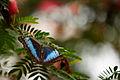 Blue butterfly (14074308758).jpg