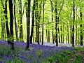 Bluebells (2) - Hooke Park - geograph.org.uk - 1293053.jpg