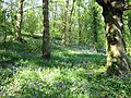 Bluebells in wood near River Team at Urpeth - geograph.org.uk - 236790.jpg