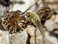 Bombylius spec. (Bombyliidae) - (imago), Sicilia, Italy - 2.jpg