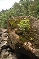 Bonsai Selvagem - panoramio.jpg