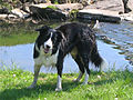 Border collie (dog).jpg