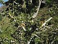 Boscia foetida fruit and leaves IMG 8632.JPG