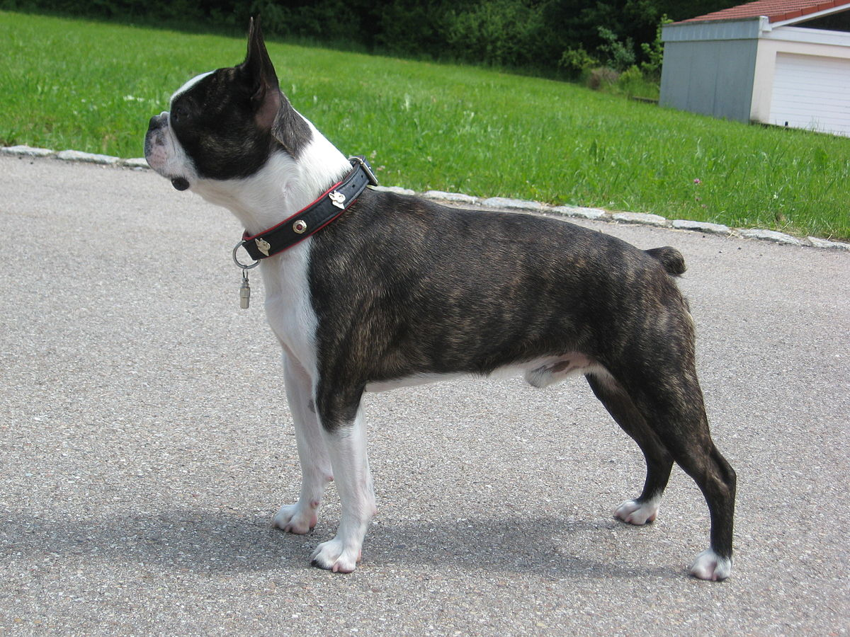 boston terrier brindle boston terrier wikipedia 6610