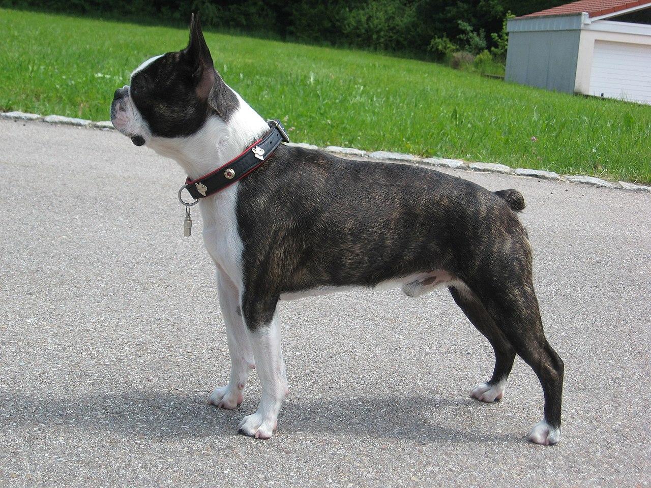 File Boston Terrier Carlos De Jpg Wikimedia Commons