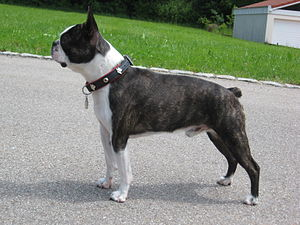 Boston Terrier - Boston Terrier with a brindle coat