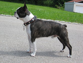 Boston Terrier - Boston Terrier with a black brindle coat