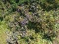 Bouachouch forest. Ait mimoun. Khemisset 10.jpg