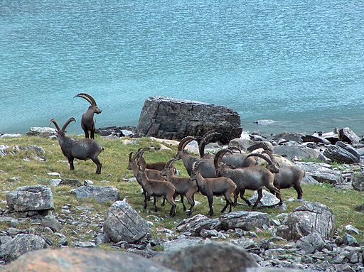 Bouquetins au lac long (3)