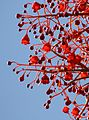 Brachychiton acerifolius (Flame Tree) by jemasmith.jpg