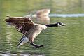 Branta canadensis -Delaware, USA -landing on water-8.jpg