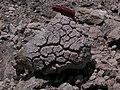 Breadcrusted lava bomb, Llaima volcano, Chile.jpg