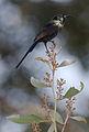 Bronzy sunbird, Nectarinia kilimensis, at Seldomseen, Vumba, Zimbabwe (21785602860).jpg