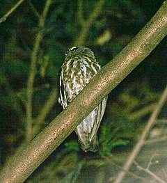 Brown Hawk Owl (Ninox scutulata) at Samsing, Duars, West Bengal W IMG 5932.jpg