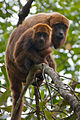 Brown Howler Monkey 7.jpg