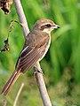 Brown Shrike (24814782341).jpg