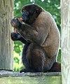 Brown Woolly Monkey2.jpg