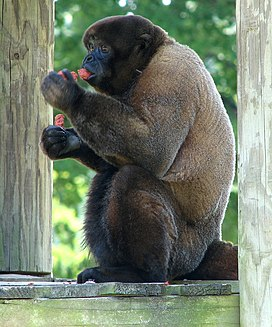 Brown Woolly Monkey2.jpg