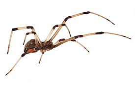 Brown widow spider Latrodectus geometricus low oblique view.jpg