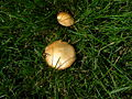 Brownish mushroom on green grass 2.JPG
