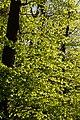 Buchberg Waldimpression 20200415 02.jpg