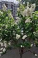 Bucuresti, Romania. Flori de liliac, Mai 2021.jpg