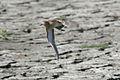 Buff-breasted Sandpiper in flight (3972953420).jpg