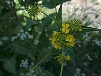 Bunias orientalis Ukonpalko VI08 C H4935