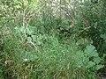 BurdockArctium species.jpg