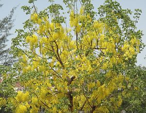 Pterocarpus macrocarpus - Flowered padauk ပိတောက်ပန်း Not a true Burmese Padauk. Compare to the Thingyan picture, showing correct tree and flowers.