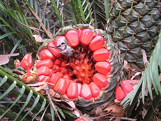Sarcotesta - Cycad seeds have a sarcotesta. (Cycad:Macrozamia communis)